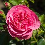 Gardenrose 02 Zdjęcia Royalty Free