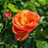 Gardenrose 01 Lizenzfreies Stockfoto