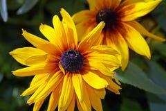 Gardens daisy Royalty Free Stock Photo