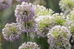 Gardens decorative onion Royalty Free Stock Photography