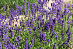 Gardens with the flourishing lavender Royalty Free Stock Image