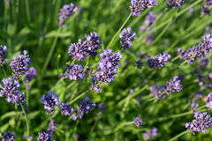 Gardens with the flourishing lavender Royalty Free Stock Photography