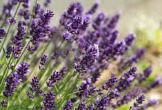 Gardens with the flourishing lavender Stock Photography