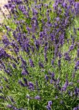 Gardens with the flourishing lavender. Stock Images