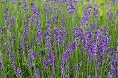 Gardens with the flourishing lavender Royalty Free Stock Photos