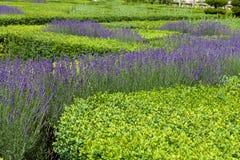 Gardens with the flourishing lavender Stock Photos