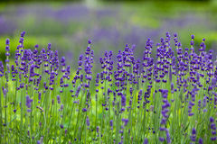 Gardens with the flourishing lavender Stock Photos