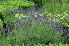 Gardens with the flourishing lavender Stock Image