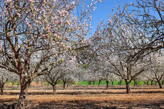 Gardens of flowering almond Stock Photos