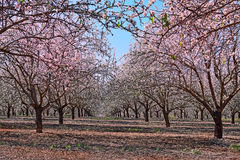 Gardens of flowering almond Stock Image