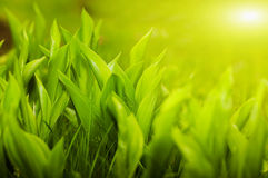 Gardens grass with the lilies of the valley. Sunny morning (shallow dof royalty free stock photos