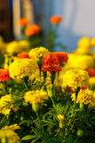 Gardens of lantana camara flowers. Royalty Free Stock Photo