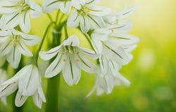 Three Cornered Leek, Snowbell, Allium triquetrum. Gardens and Meadows - Three Cornered Leek, Snowbell, Allium triquetrum Stock Image