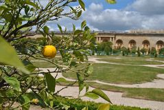 The gardens of Versailles. Tangerine tree in the gardens of Versailles Royalty Free Stock Image