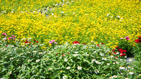 Gardens Yellow flowers. A beautiful yellow flowers background in summer Royalty Free Stock Photography