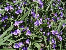 GardenTradescantia (spiderworts) blått blommar och slår ut Fotografering för Bildbyråer