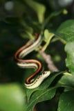 Garder蛇 免版税库存图片