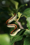Garder Snake. Slithering though the leaves of a tree Royalty Free Stock Images