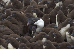 Garderie de pingouin de Rockhopper - Falkland Islands Image libre de droits