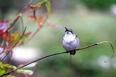 Gardes de colibri alimentant le territoire Image libre de droits