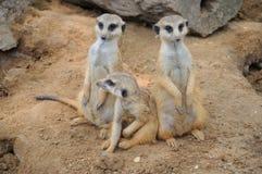 Gardes du corps de Meerkat Photographie stock libre de droits