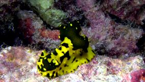 Gardiner`s banana nudibranch  Aegires gardineri  nudibranch stock video