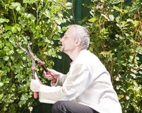 Gardner cleaning rose bushes Stock Photography