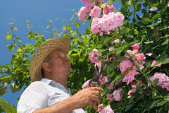 Gardner pinching off dead flowers of a pink rose Royalty Free Stock Photos