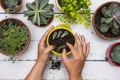 Gardner` s handen die succulents in pottenrand planten door andere succulente installaties met uitstekende witte raadsachtergrond royalty-vrije stock afbeelding