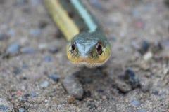Gardner Snake Closeup Imagenes de archivo