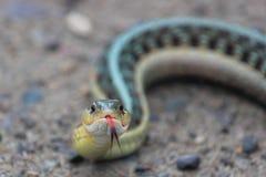 Gardner Snake Closeup Stockfotos