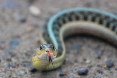 A Gardner Snake Closeup Stock Photos
