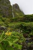Gardnerianum Hedychium (πιπερόριζα Kahili, γιρλάντα-κρίνος Kahila, ή κρίνος πιπεροριζών) Στοκ Φωτογραφία