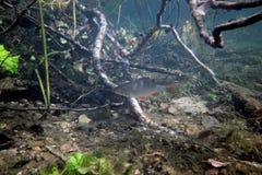 Gardon dans le lac Images stock