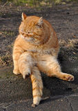 Garfield cat. Funny cat sitting on his back. Similar to Garfield Royalty Free Stock Photo