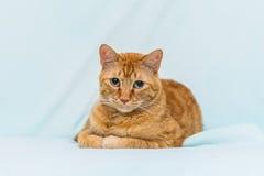 Garfield, das entlang der Kamera anstarrt stockfotografie