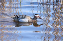 Garganey Royalty Free Stock Images