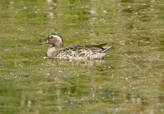 Garganey Royalty Free Stock Image