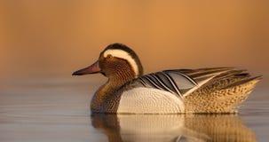 Garganey - Anas querquedula - male. At a small lake in spring Stock Photo