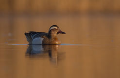 Garganey - Anas querquedula - male Stock Photography