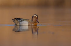Garganey - Anas querquedula - male Stock Photos