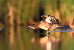 The Garganey Anas querquedula Stock Photography
