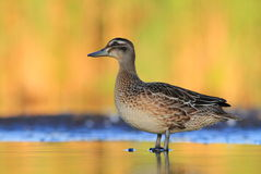 The Garganey Anas querquedula Royalty Free Stock Image