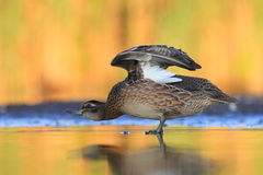 The Garganey Anas querquedula Royalty Free Stock Photos