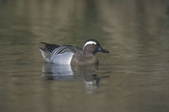 Garganey, Anas querquedula Royalty Free Stock Image
