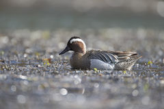 Garganey, Anas querquedula Royalty Free Stock Images
