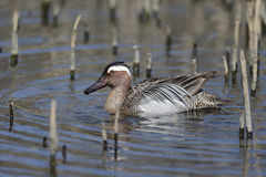 Garganey, Anas querquedula Royalty Free Stock Photos