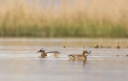 Garganey Couple on the Pond. A garganey couple (Anas querquedula) is swimming on the pond, heading different directions Royalty Free Stock Images