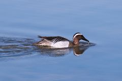 Garganey dabbling duck (Anas querquedula)  Stock Photo