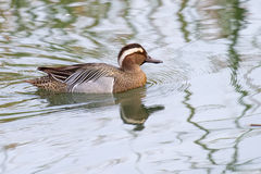 Garganey Duck Stock Image